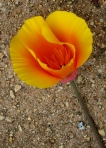 Deer trampeled through in front of me, and this California Poppy was bent at its stem.  Simple beauty.